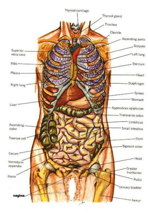diagram of organs diagram human inside human anatomy picture