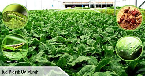 Jual Plastik Uv Hidroponik inilah hama tanaman hidroponik pabrik dan distributor