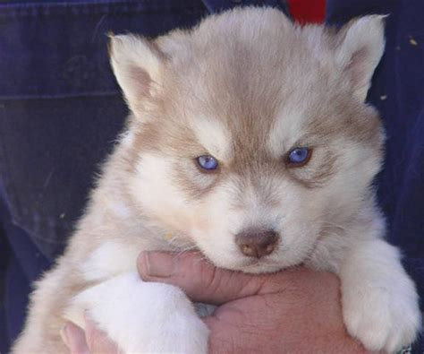 siberian husky puppies for sale in florida akc siberian husky puppies for sale adoption from bartow florida polk adpost
