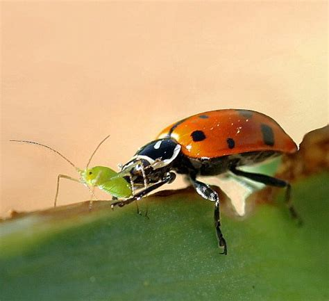 where to find ladybugs in your backyard a thousand live bugs noveltystreet