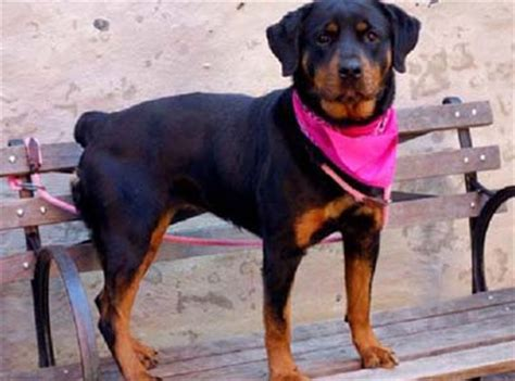 rottweiler rescue houston rottweiler rescue foundation providing grants to rottweiler rescue organizations in