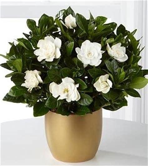 gardenia fiori gardenia piante appartamento coltivazione gardenia