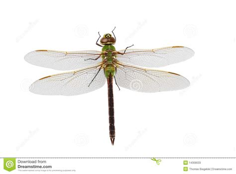 green dragonfly l green darner dragonfly stock image image of isolated