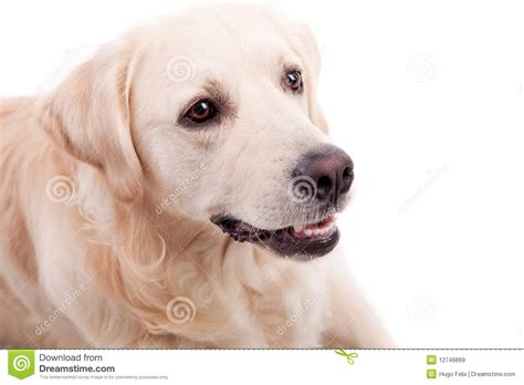 golden retriever portrait golden retriever portrait royalty free stock images image 12746869