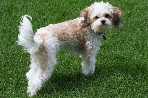 cavachon dogs cavachon designer breed king charles spaniel x