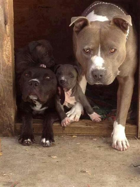 dog houses for pitbulls pitbull family in dog house my favorite animals pinterest