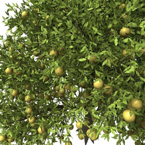 grape fruit tree xfrog trees grapefruit tree