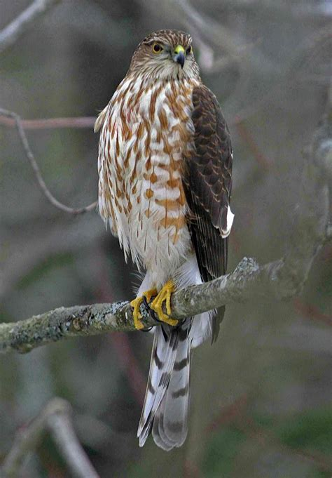sharp shinned hawk 1000 images about backyard birds on pinterest mothers