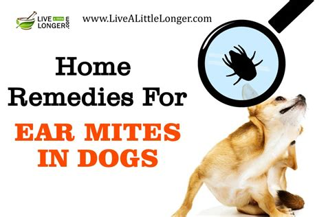 home remedies for mites on dogs 10 best home remedies for ear mites in dogs