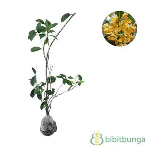 Bibit Tanaman Sweet Osmanthus tanaman sweet olive osmanthus fragrans bibitbunga