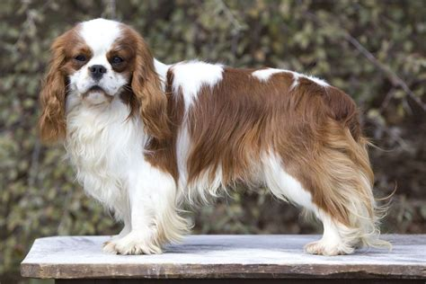 pedigree breed pedigree dogs exposed the documentary on breed standards part one pets4homes