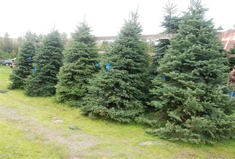 you ll find beautiful christmas trees at little hills farm
