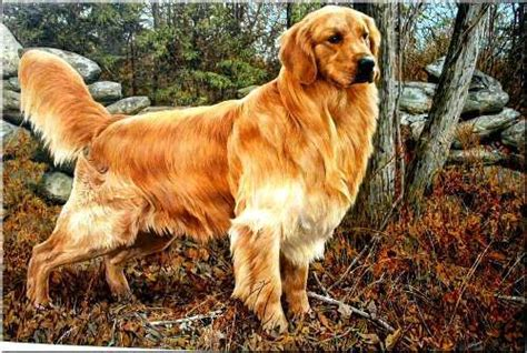 golden retriever problems 10 interesting golden retriever facts my interesting facts