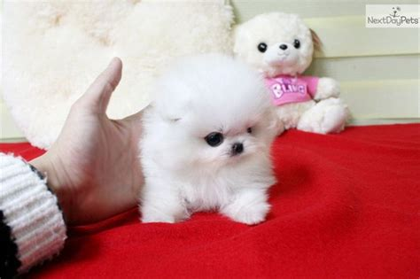 micro teacup pomeranian puppies for sale in mississippi puppies micro teacup pomeranian teacup pom puppy for sale micro breeds picture