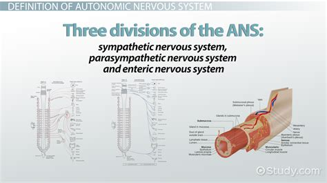 cross section meaning in urdu autonomic nervous system function definition divisions