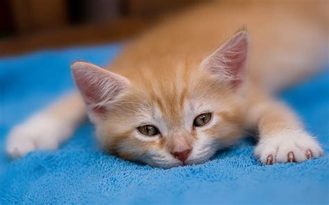 computer wallpaper kittens kitten desktop wallpapers free on latoro com
