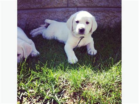 white polar lab puppies white lab puppies aka polar labs outside nanaimo nanaimo
