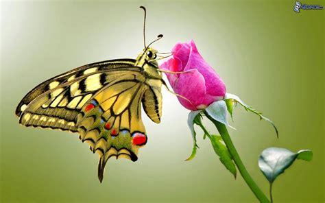 imagenes mariposas con rosas mariposa sobre una flor