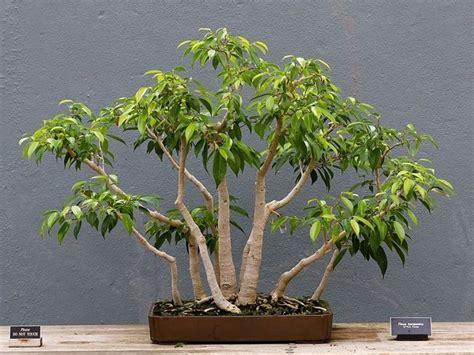 Ficus Benjamin Secco by Bonsai Ficus Benjamin Ficus Come Realizzare Un Bonsai