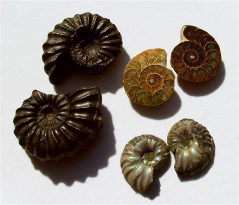 Fossil Jaynice gem profile on ammolite jewelry