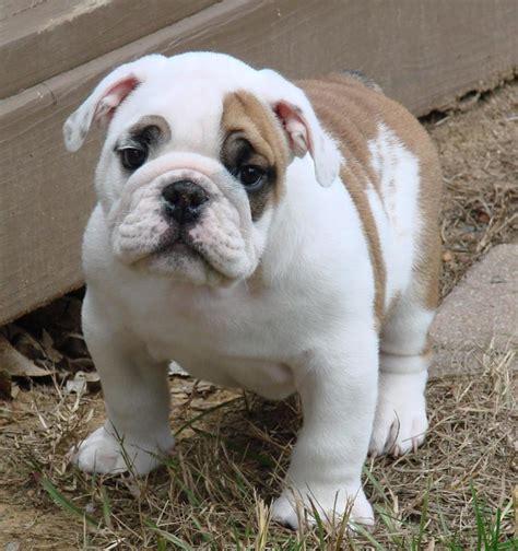 bulldog puppies for sale bulldog puppy breeder