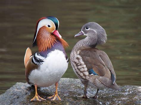 The Pair by File Pair Of Mandarin Ducks Jpg Wikimedia Commons