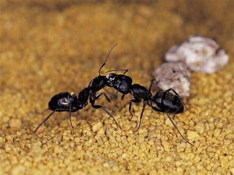 black house ants www pixshark com images galleries