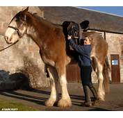 Still Growing Digger The Clydesdale Becomes Britains Biggest Horse