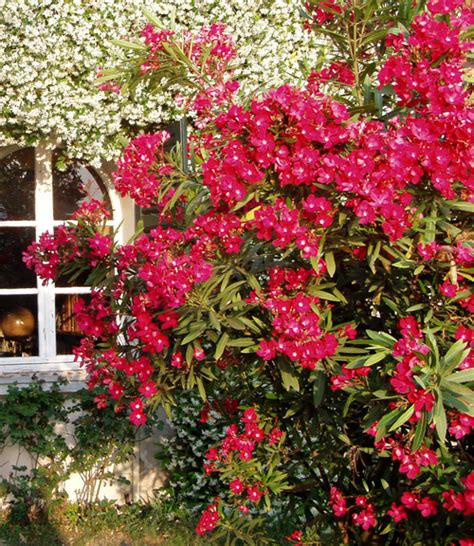 arbusti sempreverdi fioriti il di yougardener 11 arbusti sempreverdi belli