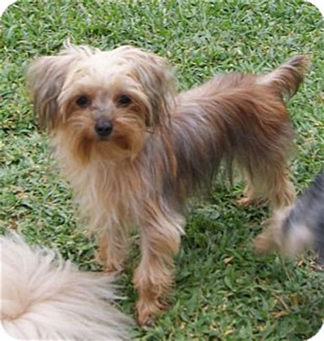maltese yorkie mix puppies adoption lucas adopted puppy cape coral fl maltese yorkie terrier mix