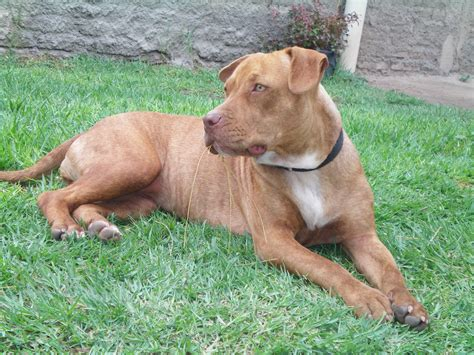 pictures of pits file american pitbull 001 jpg