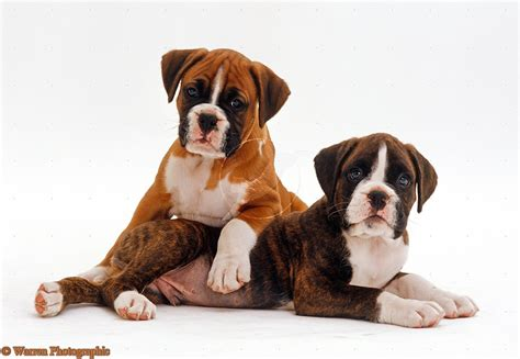 boxer puppy pics boxer puppies related keywords suggestions boxer puppies keywords