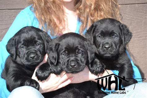 puppies for sale minneapolis 17 of 2017 s best labrador puppies for sale ideas on labrador pups for