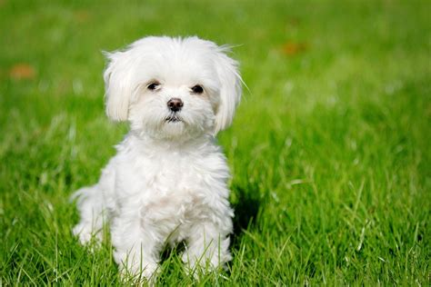 havanese breed havanese puppies rescue pictures information temperament characteristics