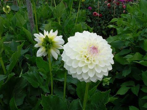 fiore da giardino dalia fiore piante da giardino coltivare dalia