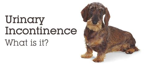 urinary incontinence in dogs senior care urinary incontinence in dogs explained