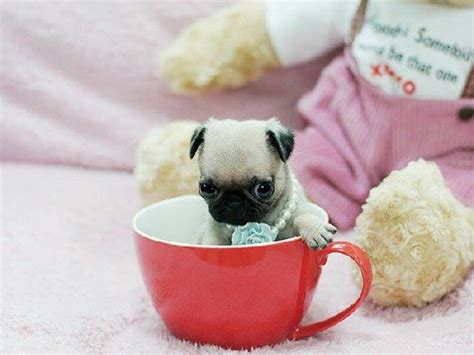 pug pi teacup pug search engine at search