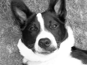 mcnab puppies mcnab photo mcnab breed mcnab