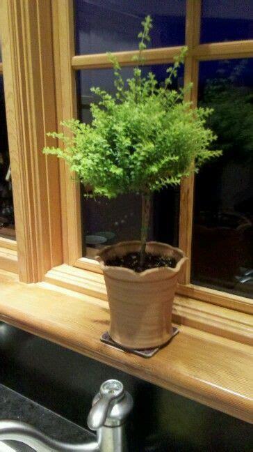 boxwood honeysuckle topiary  world gardens topiary
