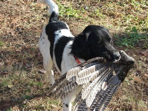 dogs and turkey about the american turkey association
