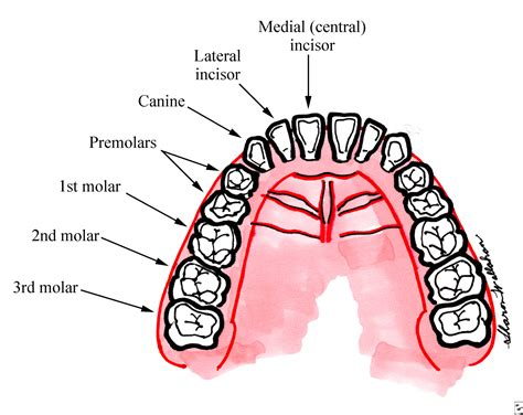 teeth of the broken or knocked out teeth topic guide