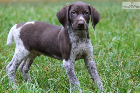 german shorthaired pointer puppies near me dogs to adopt near me pets world