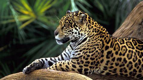 imagenes de jaguar hd jaguar in amazon rainforest 4170265 1920x1200 all for
