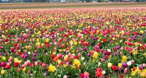 information about rose farming tulip cultivation information guide agrifarming in
