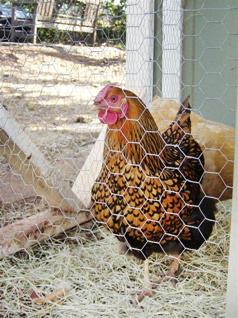 chicken breeds ideal  backyard pets  eggs hgtv