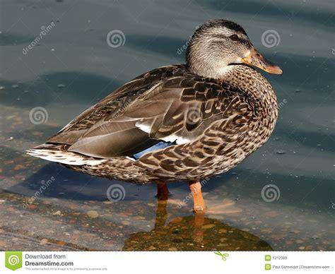 alimentazione germano reale uccelli acquatici dell anatra germano reale della