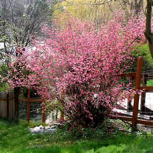 pink winter flowering shrub water conserving landscape plants ribes sanguineum