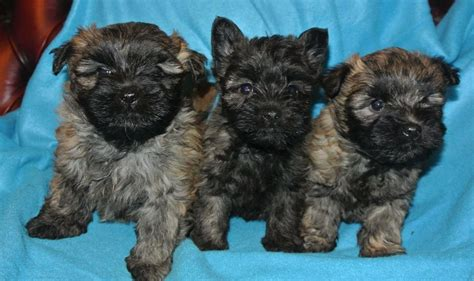 terrier puppies for sale cairn terriers for sale
