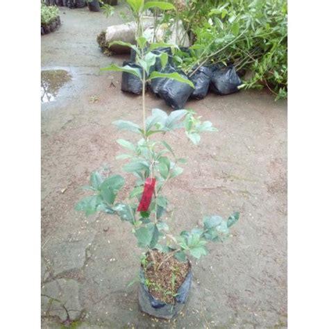 jual promo tanaman langka bunga meihua cina hp