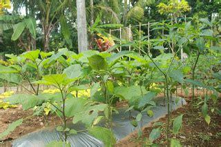 Bibit Jintan Putih Daun Bangun Bangun tanaman sayur di kebun bibit desa part 1 desa pagerandong